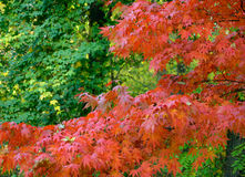 Colorful Autumn Maple Leafs on the Tree Royalty Free Stock Image