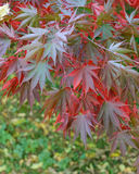 Colorful Autumn Maple Leafs on the Tree Stock Photo