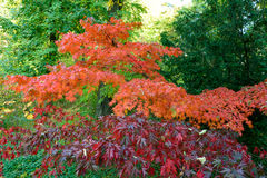 Colorful Autumn Maple Leafs on the Tree Stock Photos