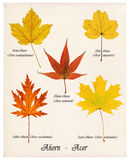 Colorful autumn maple leaves. Collage with various colorful autumn leaves of maple trees on old paper Royalty Free Stock Photography