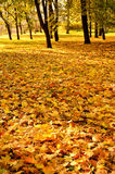 Colorful autumn maple leaves Stock Image