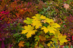 Colorful autumn maple leaves as background Royalty Free Stock Photos