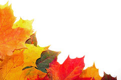 Colorful autumn maple leaves Royalty Free Stock Photos