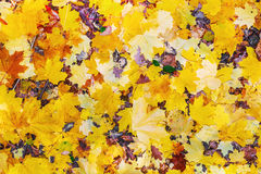 Colorful autumn maple leaves background. Stock Photography