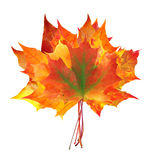 Colorful autumn maple leaves bouquet isolated on white Royalty Free Stock Photos