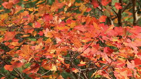 Colorful autumn maple leaves stock video footage