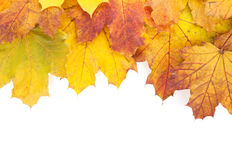 Colorful autumn maple leaves frame Royalty Free Stock Images