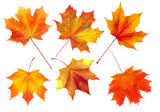 Colorful autumn maple leaves isolated on white Stock Photo
