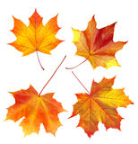 Colorful autumn maple leaves isolated on white Royalty Free Stock Image