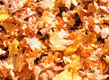 Colorful autumn maple leaves Royalty Free Stock Image