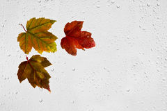 Colorful autumn maple leaves and raindrops on the window. Colourful highlighted wet autumn leaves with drops of water stuck to a window on a gray background Stock Image