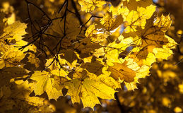 Colorful autumn maple leaves. Colorful autumn maple leaves with sun Stock Photos