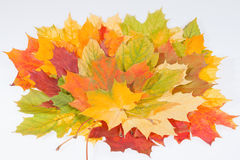 Colorful autumn maple leaves on white background Royalty Free Stock Photos