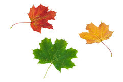 Colorful autumn maple leaves on white background Royalty Free Stock Image