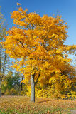Colorful autumn maple tree. Colorful maple tree in the autumn park Stock Image