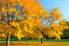 Colorful autumn maple tree. Colorful maple tree in the autumn park Royalty Free Stock Image