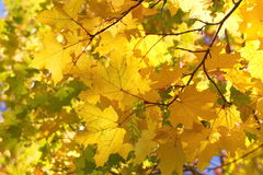 Colorful autumn maple tree branches Stock Image