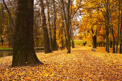 Colorful autumn maple trees fallen leaves in park Stock Image