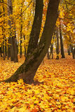 Colorful autumn maple trees fallen leaves in park Stock Photo