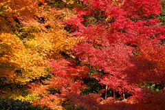 Colorful autumn maple trees Royalty Free Stock Photography