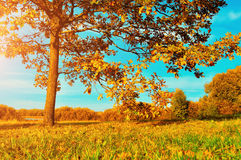 Colorful autumn meadow -yellowed autumn deciduous oak in autumn sunlight. Stock Image
