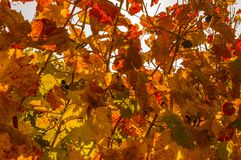 Colorful autumn mood with autumn colors in the vineyard in the m royalty free stock image