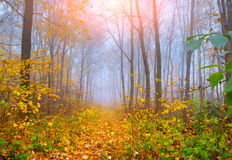 Colorful autumn morning in the autumn forest Stock Image
