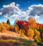 Colorful autumn morning in the Carpathian mountain forest Royalty Free Stock Image