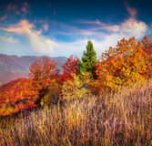 Colorful autumn morning in the Carpathian mountain forest Stock Photos
