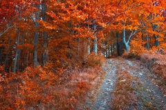 Colorful autumn morning in the dark mountain forest. Royalty Free Stock Photos