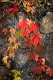 Colorful autumn natural background clamberer leaves on rock stock image