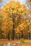 Yellow maples in their beauty, decoration of parks and avenues. Colorful autumn in nature on Java Royalty Free Stock Images