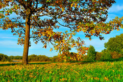 Colorful autumn nature -yellowed autumn deciduous oak in autumn sunny forest Stock Images