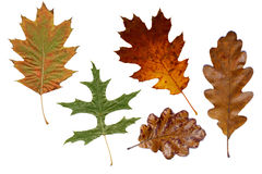 Colorful autumn oak leaves Royalty Free Stock Photo