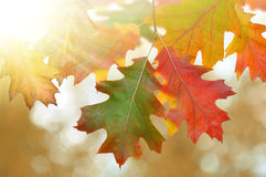 colorful autumn oak leaves stock images