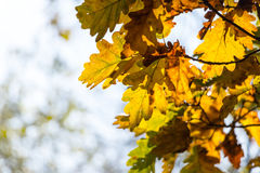Colorful autumn oak leaves with blurred background Royalty Free Stock Image