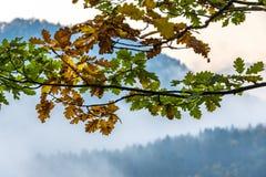 Colorful autumn oak leaves Stock Photos