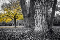 The yellow maple tree among the other trees Royalty Free Stock Photography