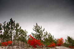 Colorful autumn in pine forest Royalty Free Stock Photography