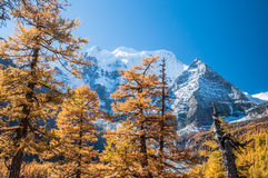 Colorful autumn with pine forest and snow mountain Stock Image