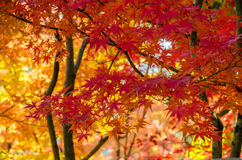 Colorful autumn, red, orange and gold leaf Stock Photography