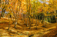 Colorful autumn, red, orange and gold leaf Royalty Free Stock Images