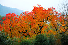 Colorful Autumn scenery in Tachuan Stock Photography