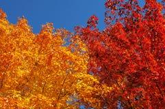 Colorful Autumn Sugar Maple leaf foliage Stock Photography