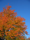 Colorful autumn tree Stock Photography
