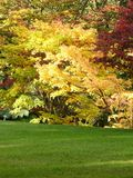 Colorful Autumn tree. And lawn Royalty Free Stock Image