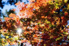 Colorful autumn tree Royalty Free Stock Photo