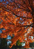 A colorful autumn tree branches with bright orange leafes Stock Photos