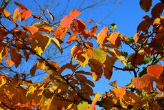 A colorful autumn tree branches close by with bright leafes. Stock Photos