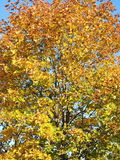 Colorful autumn tree. Can use as background Stock Photography